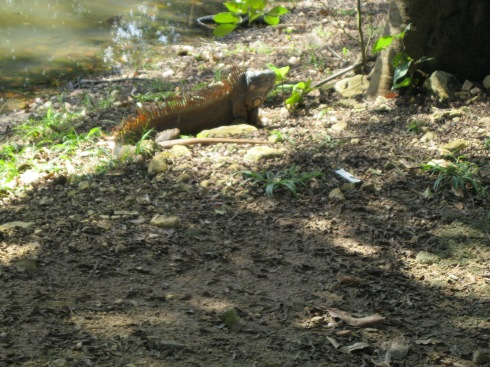 Iguana - 2 metres from our Cabana