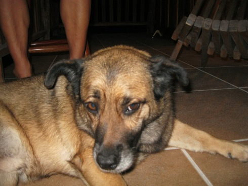 Paco, a Dog-tired Guard Dog