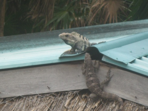 Two iguanas getting to know each other